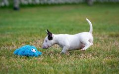 Mr. Panateras dog, Caesar, getting in show shape by working out with his toy.
